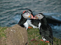 Puffins at the Castle o'Burrian